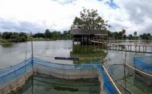 ม.แม่โจ้เปิดสูตร อาหารปลาบึก ช่วยลดต้นทุน 20 %