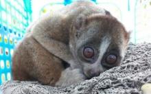 ส่งลิงลมพลัดหลงภูเก็ตไปศูนย์ศึกษาธรรมชาติฯ เขาพระแทวปล่อยคืนสู่ป่า